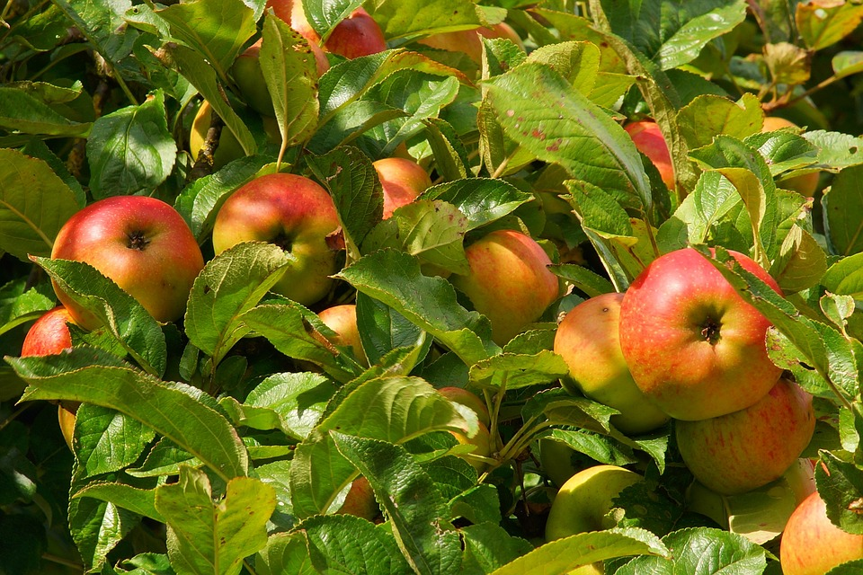 Our guide to apple trees