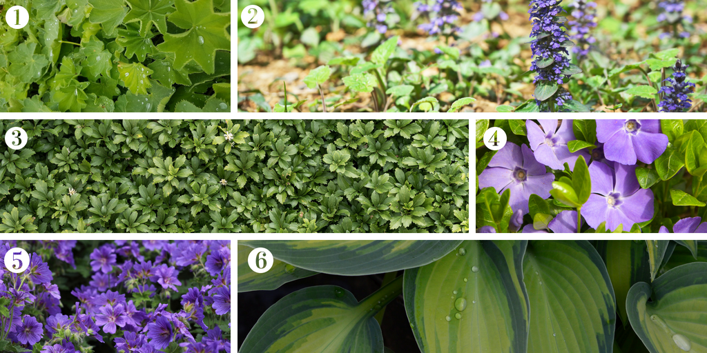 Six great plants to keep the weeds at bay