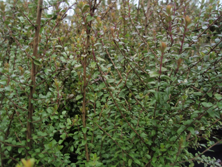 Think outside the 'box' with these Buxus sempervirens alternatives