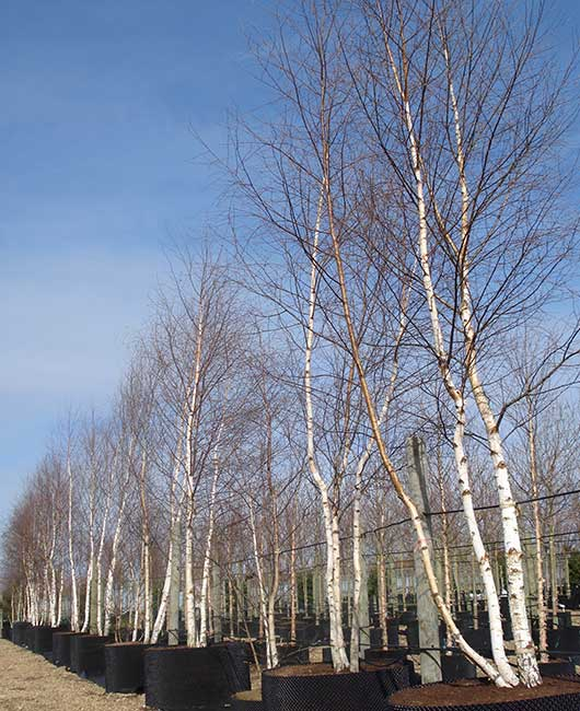 Trees | Johnsons of Whixley Commercial