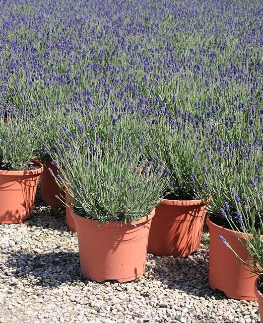 Specimen Plants | Johnsons of Whixley Commercial