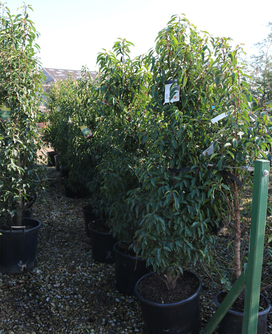 Hedging | Johnsons of Whixley Xpress