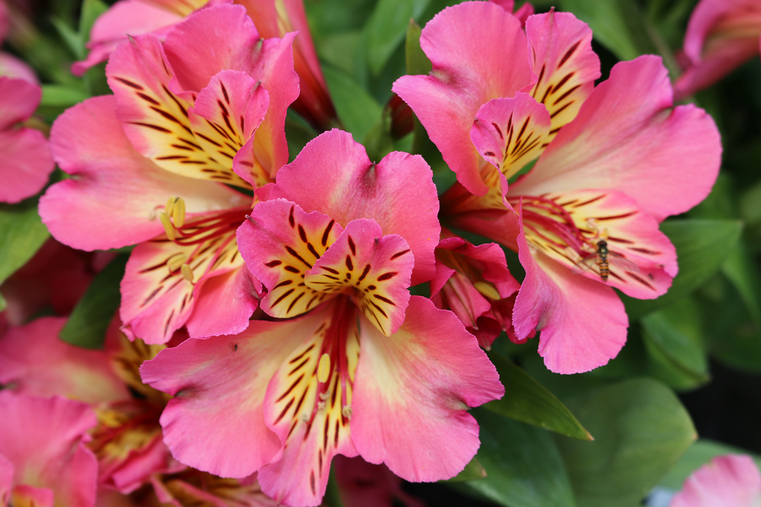Caring for alstroemeria, the plant that doesn't stop flowering