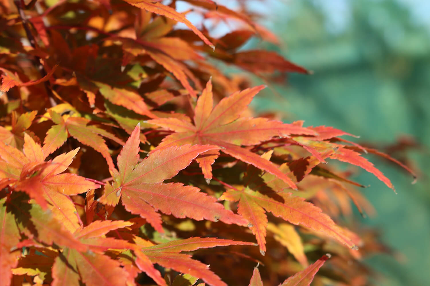 Awesome Acers for Autumn