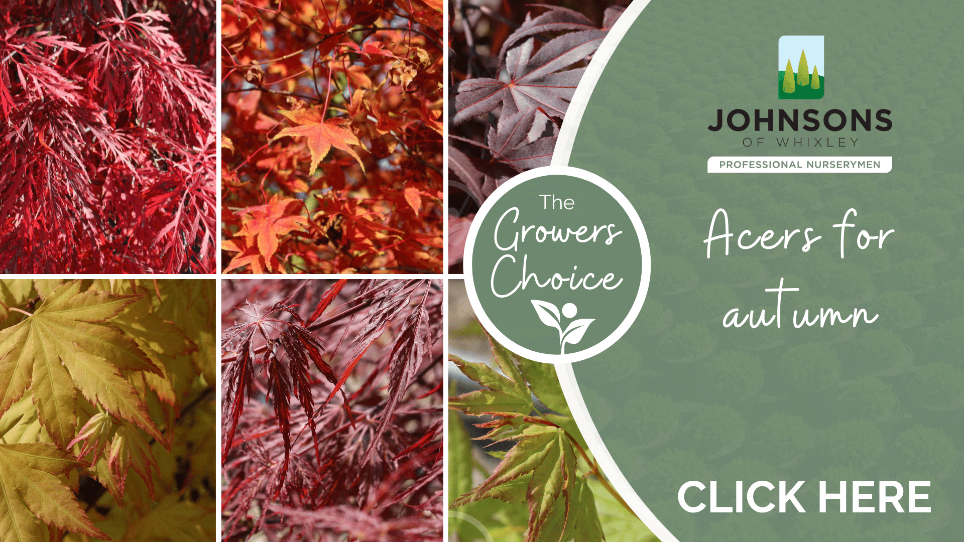 The Growers Choice - Acers for autumn