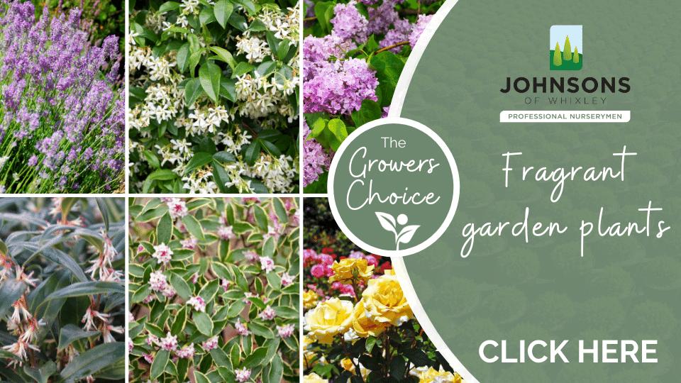 The Growers Choice: Fragrant Garden Plants