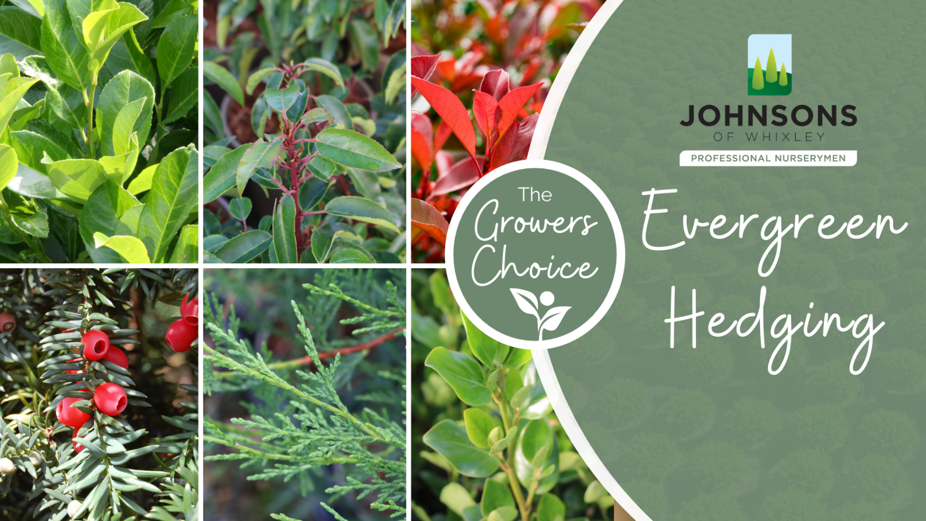 The Growers Choice: Evergreen Hedging