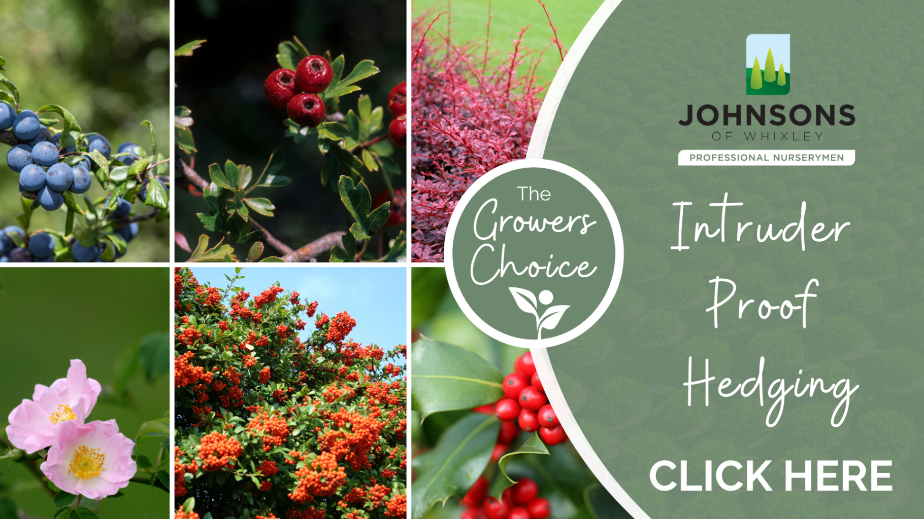 The Growers Choice: Intruder proof hedging