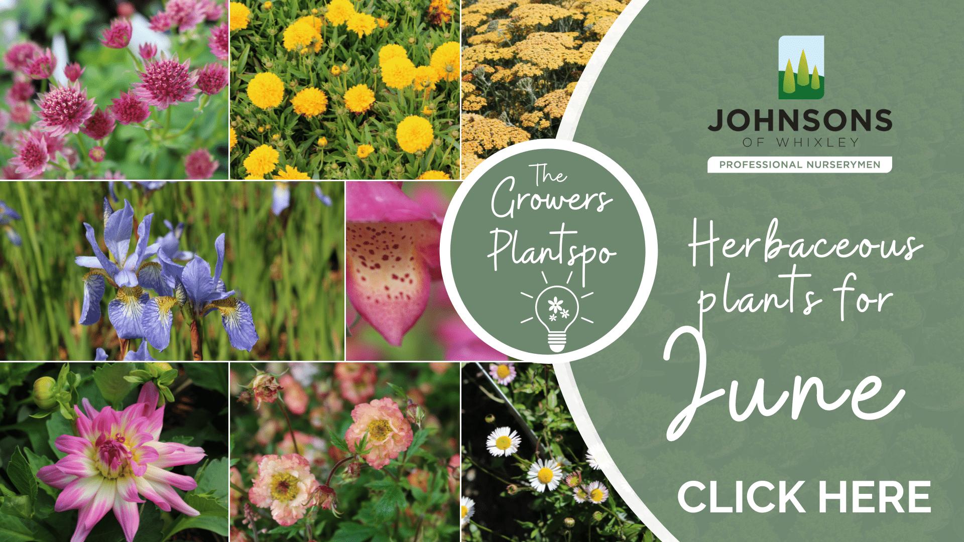 The Growers Plantspo - June Herbaceous